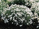 60058 achillea the pearl superior 0124a