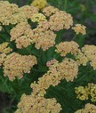 Achillea_mill__Apricot_Beauty.jpg