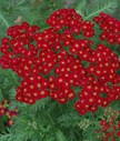 Achillea_mill__Red_Velvet.jpg