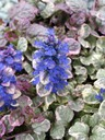 Ajuga___Party_Colours_.jpg