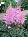 Astilbe_Heart_and_Soul.jpg