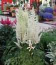 Astilbe_chinensis__Diamonds_and_Pearls__.jpg