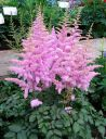 Astilbe_chinensis__Hearth_and_Soul__1.jpg