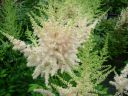 Astilbe_chinensis__Milk_and_Honey__.jpg