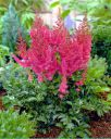 Astilbe chinensis  Stand and Deliver