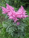Astilbe_hybride__Rhytm_and_Blues__3.jpg