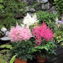 Astilbe_hybride__Rock_and_Roll__28r29_28229.JPG