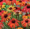Echinacea_Hot_Summer.jpg