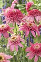 Echinacea_purpurea_Pink_Doble_Delight.jpg