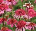 Echinacea_purpurea__Pink_Double_Delight__28r29.jpg