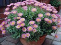 Erigeron_glaucus__Sea_Breeze_.JPG