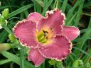 Hemerocallis__Arabian_Magic_.jpeg