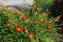 Hemerocallis__Autumn_Red_.jpg