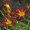Hemerocallis__Autumn_Red_1.jpg