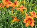 Hemerocallis__Banditman_.jpeg
