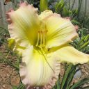 Hemerocallis__Big_Smile_.jpg