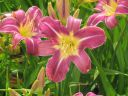 Hemerocallis__Blue_Sheen_.jpg