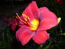 Hemerocallis__Chicago_Knockout_~0.jpg