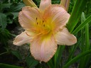 Hemerocallis__Chicago_Petticoat_~0.JPG