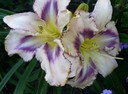 Hemerocallis Destined to See