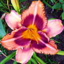 Hemerocallis Mask of Time