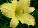 Hemerocallis__Missouri_Beauty_~0.jpg