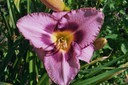 Hemerocallis Orchid Candy