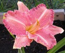 Hemerocallis Pretty Fancy