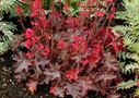 Heuchera_Cherries_Jubilee_.jpg