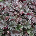 Heuchera_Dark_Secret_.jpg
