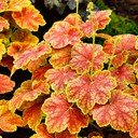 Heuchera_Delta_Dawn_.jpg