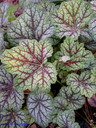Heuchera_Green_Spice.JPG