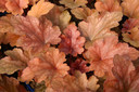 Heuchera__Peach_Flambe_.jpg