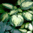 Hosta hybride Great Expectations
