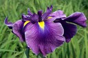 Iris_ensata__Pleasant_Journey_1.jpg