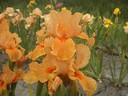 Iris_germanica_Apricot_Silk.jpg