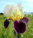 Iris_germanica__Salonique_1.jpg
