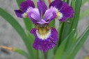 Iris_sibirica__Jewel_Crown_.jpg