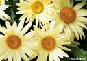 Leucanthemum__Broadway_Lights_.jpg