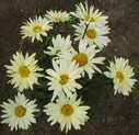 Leucanthemum__Broadway_Lights__28r29.jpg