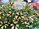 PETUNIA Little Bicolor Black