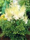 astilbe_milk_and_honey.jpg