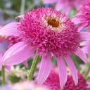 echinacea-pink-double-delight.jpg
