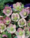 helleborus_orientalis_Red_Spotted_Hybrids.png