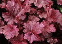 heuchera_Midnight_Rose_Select.jpg