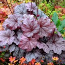 heuchera_georgia_plum-.jpg
